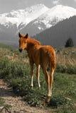 Yong brown foal Royalty Free Stock Photo