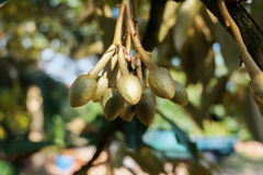 Yong durian owoc Fotografia Royalty Free