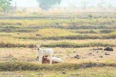 Yong-Einheimischviehzucht Stockfotos