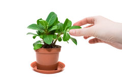 Yong girl's hand touching leaf of a plant in flowerpot. Isolated on a white background Royalty Free Stock Images