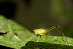 Yong Katydid of Ecuador Stock Photos