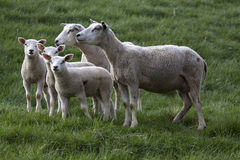 Yong lambs Stock Photography