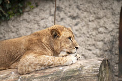 Yong lion Stock Photography