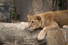 Yong lion Stock Photos