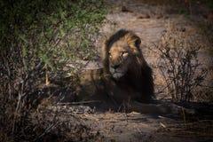 Yong męski lew łagodzi w ranku świetle Fotografia Royalty Free