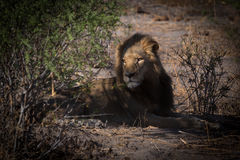 Yong male lion easing in the morning light. Royalty Free Stock Photography