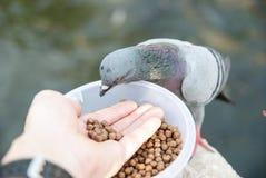 Yong man feed pigeons on Bangkok street Stock Photo