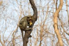 Yong monkey sitting. Monkey sitting on the tree and eat corn on hand Stock Photo