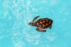 Yong ocean turtle sims in the blue water stock photos
