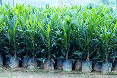Yong Oil palm trees. Oil palm nursery in the morning background Royalty Free Stock Photography