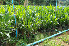 Yong Oil palm trees Royalty Free Stock Photography