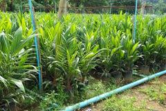Yong oleju drzewka palmowe fotografia royalty free