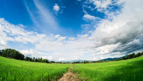 Yong rice field under white clouds and blue sky. Stock Image