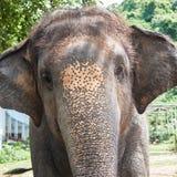 Yong słonia głowa zamknięta w górę obrazy royalty free
