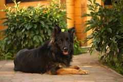 Yong shepherd dog lying on the road in the yard. Summer composition, Stock Images