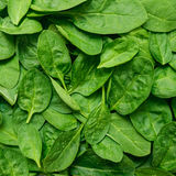 Yong spinach Royalty Free Stock Photo