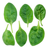 Yong spinach Stock Photography