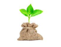 The yong tree growing in burlap bag with bow rope on white background Royalty Free Stock Photos