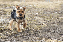 Yong Yorkshire Terrier Dog outside on walk Royalty Free Stock Image