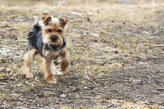 Yong Yorkshire Terrier Dog utanför på går Royaltyfri Bild