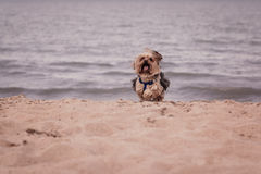 York dog playing on the beach. Stock Photos