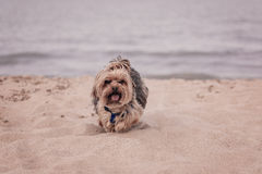 York dog playing on the beach. Stock Images