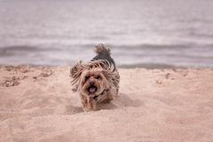 York dog playing on the beach. Royalty Free Stock Photo