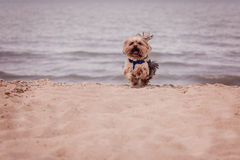 York dog playing on the beach. Stock Photography