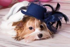 York pretty small dog. York pretty pet small dog Royalty Free Stock Photos