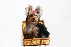 York pretty small dog. York pretty pet small dog Royalty Free Stock Image