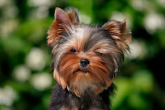 York puppy on a background of flowering jasmine. Puppy yorkshire terrier sitting and smelling the blooming jasmine bush Royalty Free Stock Photos