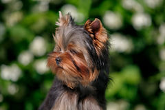 York puppy on a background of flowering jasmine. Puppy yorkshire terrier sitting and smelling the blooming jasmine bush Stock Image