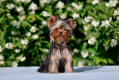 York puppy on a background of flowering jasmine. Puppy yorkshire terrier sitting and smelling the blooming jasmine bush Royalty Free Stock Images