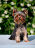 York puppy on a background of flowering jasmine. Puppy yorkshire terrier sitting and smelling the blooming jasmine bush Royalty Free Stock Photography