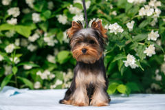 York puppy on a background of flowering jasmine. Puppy yorkshire terrier sitting and smelling the blooming jasmine bush Stock Images