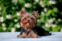 York puppy on a background of flowering jasmine. Puppy yorkshire terrier sitting and smelling the blooming jasmine bush. York puppy on a background of flowering stock photo