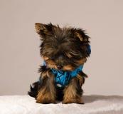 York puppy Stock Photography
