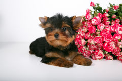 York puppy on a white background. Puppy Yorkshire Terrier with a bouquet of crimson roses on a white background Stock Images