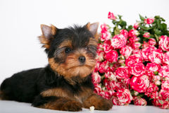 York puppy on a white background. Puppy Yorkshire Terrier with a bouquet of crimson roses on a white background Stock Image