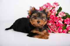 York puppy on a white background. Puppy Yorkshire Terrier with a bouquet of crimson roses on a white background Stock Photography