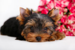 York puppy on a white background. Puppy Yorkshire Terrier with a bouquet of crimson roses on a white background Royalty Free Stock Photos