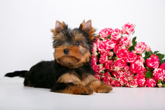 York puppy on a white background. Puppy Yorkshire Terrier with a bouquet of crimson roses on a white background Royalty Free Stock Image