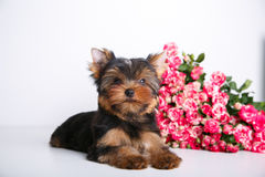 York puppy on a white background. Puppy Yorkshire Terrier with a bouquet of crimson roses on a white background Royalty Free Stock Photo