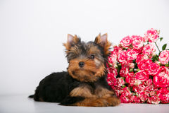 York puppy on a white background. Puppy Yorkshire Terrier with a bouquet of crimson roses on a white background Stock Photo