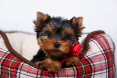 York puppy on a white background. Puppy Yorkshire terrier with red dow lying in couch in a red cell, on white background Stock Photo