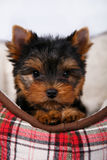 York puppy on a white background. Puppy Yorkshire terrier with red dow lying in couch in a red cell, on white background Stock Photos