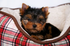 York puppy on a white background. Puppy Yorkshire terrier with red dow lying in couch in a red cell, on white background Stock Images