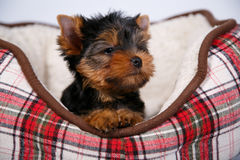 York puppy on a white background. Puppy Yorkshire terrier with red dow lying in couch in a red cell, on white background Stock Image