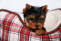 York puppy on a white background. Puppy Yorkshire terrier with red dow lying in couch in a red cell, on white background Royalty Free Stock Photos