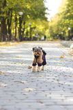 Terrier yorkshersky on the street. Terrier yorkshersky for a walk in the warm clothing Stock Photo